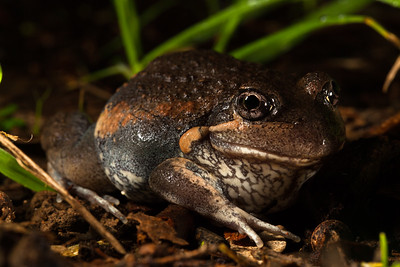 Limnodynastes dumerilii (Eastern Banjo Frog)