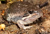 Limnodynastes dumerili (Eastern Banjo Frog). Found next to stinky swamp water at road edge, near Hattah Lakes, Vic