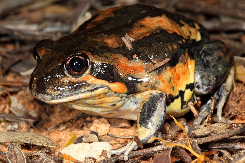 Limnodynastes interioris (Giant Banjo Frog). Found floating in stinky swamp water at road edge, near Hattah Lakes, Vic