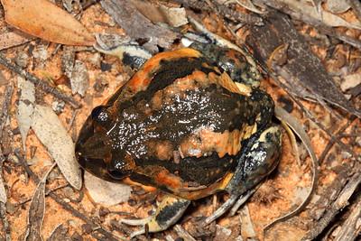 Limnodynastes interioris (Giant Banjo Frog)