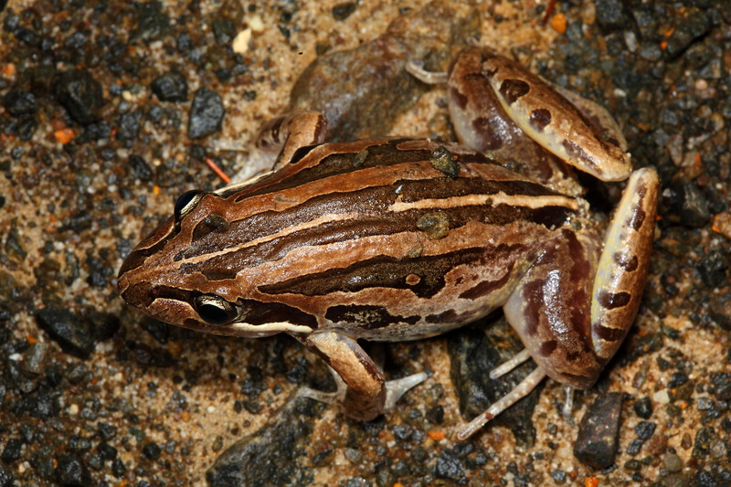 Limnodynastes peroni (Striped Marsh Frog). Found at Eungella National Park, in standing pools after heavy rain