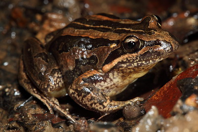 Limnodynastes peroni (Striped Marsh Frog)