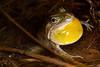 Limnodynastes tasmaniensis (Spotted Grass Frog)