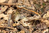 Limnodynastes tasmaniensis (Spotted Grass Frog). Found at Hattah Lakes, Vic