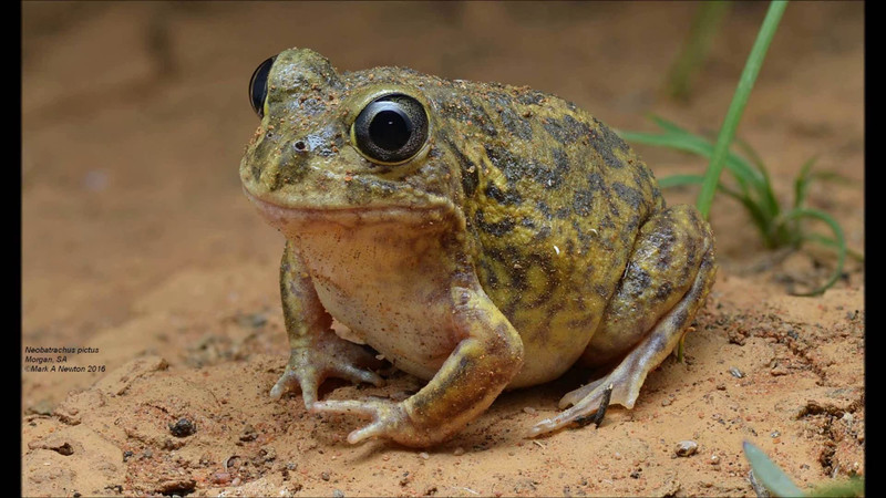 Listen for the staccato machine gun sound - a few frog species are shown and heard