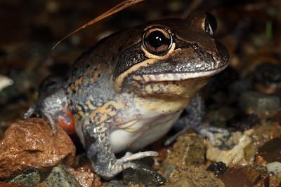 Limnodynastes terraereginae (Northern Banjo Frog)