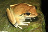 Litoria Wilcoxii, Wilcox's Frog out in steady rain, Eungella NP, Qld