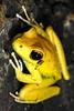 Litoria Wilcoxii, Wilcox's Frog, Millstream Falls NP near Ravenshoe