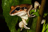 Litoria Wilcoxii, found in Barrington Tops National Park