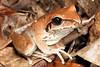 Litoria Wilcoxii, Wilcox's Frog