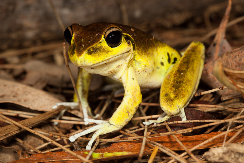 Litoria Wilcoxii, found in Werrikimbe National Park