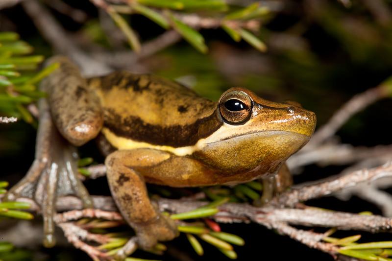 Litoria adelaidensis (Slender Tree Frog), near Walpole