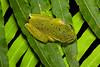 Litoria barringtonensis found in Dorrigo National Park, NSW