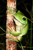 Litoria caerulea (Green Tree Frog). The southern version of L caerulea I guess, near Beerwah, Qld