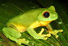 Litoria chloris (Red-eyed Tree Frog). Out and about in the rain, Eungella National Park, Qld