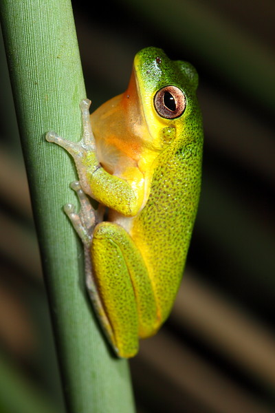 Litoria cooloolensis (Cooloola Tree Frog), found at a lake in the Cooloola part of Great Sandy National Park, Qld