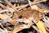 Litoria coplandi (Copland's Rock Frog)