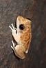 Litoria coplandi (Copland's Rock Frog). Mitchell Falls area, WA