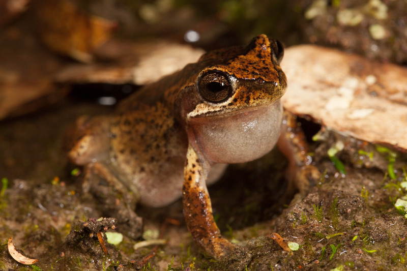Litoria euwingii (Ewing's Tree Frog) found in the Grampions National Park, Victoria.