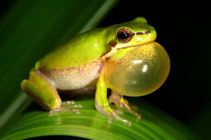 Litoria fallax (Eastern Dwarf Tree Frog). Found croaking in the rain in the Murwillumbah region