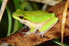 Litoria fallax (Eastern Dwarf Tree Frog)
