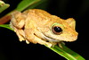 Litoria genimaculata (Green-eyed Tree Frog)