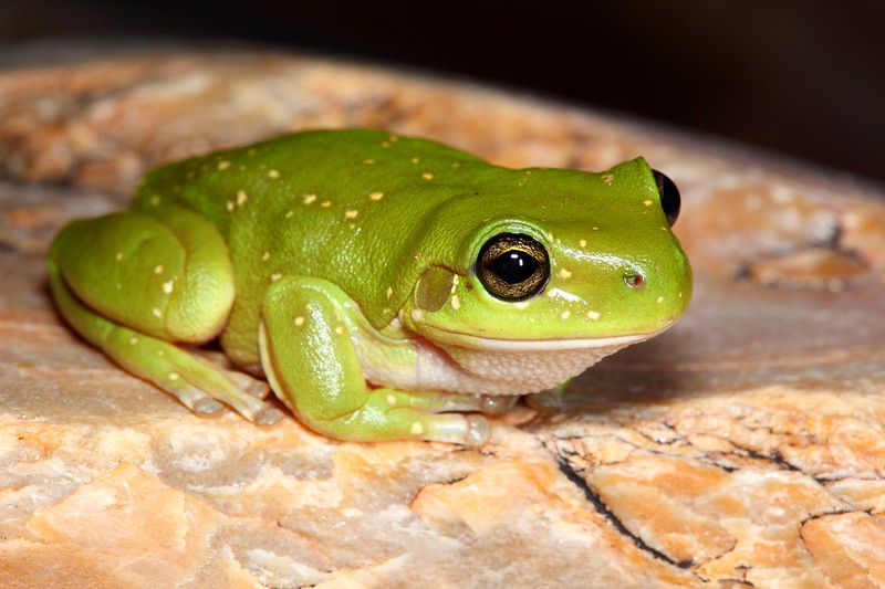 Litoria gilleni (Centralian Tree Frog). I found these frogs at the various entrances to the MacDonnell Ranges gorges (W), NT