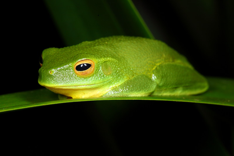Litoria gracilenta (Dainty Tree Frog), giving me a well-deserved dirty look after too much attention, Iron Range National Park, Cape York