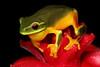Litoria gracilenta (Dainty Tree Frog), Murwillumbah region, Qld