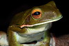 Litoria infrafrenata (White-lipped Tree Frog), Iron Range National Park, Queensland