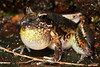 Litoria latopalmata  (Broad-palmed Frog), Southern Qld...