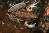 Litoria latopalmata, Broad-Palmed Frog