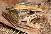 Striped rocket frog, Litoria nasulata, in grass at Litchfield