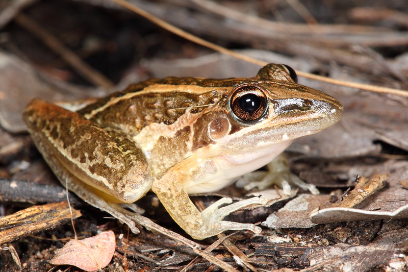 Litoria nasuta (Rocket Frog). A familiar sight everywhere up the top of Oz. These frogs were constantly leaping off the path during my evening spotlight walks. So much better to see than cane toads!
