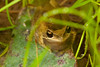 Litoria paraewingi (Plains Brown Tree Frog) found in Yea Wetlands, Victoria