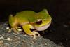 Litoria pearsoniana (Pearson's Green Tree Frog), found in Lamington National Park Qld.