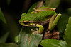 Litoria pearsoniana (Pearson's Green Tree Frog) found in Nightcap National Park, NSW.