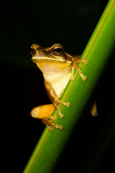Litoria revelata, found at Lamington National Park
