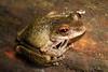 Litoria rheocola (Common Mist Frog) at Wooroonooran National Park, Queensland