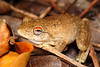 Litoria rothii (Roth's Tree Frog), Kununurra