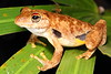 Litoria rothii (Roth's Tree Frog), Kakadu, NT
