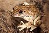 Litoria rothii (Roth's Tree Frog)