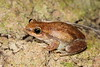 Litoria rubella (Red Tree Frog)