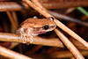 Litoria rubella (Red Tree Frog), Lakefield National Park, Cape York, Qld