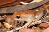 Litoria rubella (Red Tree Frog), Mitchell Plateau, Kimberley, WA