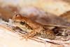 Litoria rubella (Red Tree Frog), Millstream-Chichester NP, Pilbara, WA