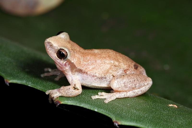 Little red tree frog, Litoria rubella, in Kununurra