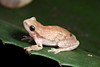 Little red tree frog, Litoria rubella, in Kununurra