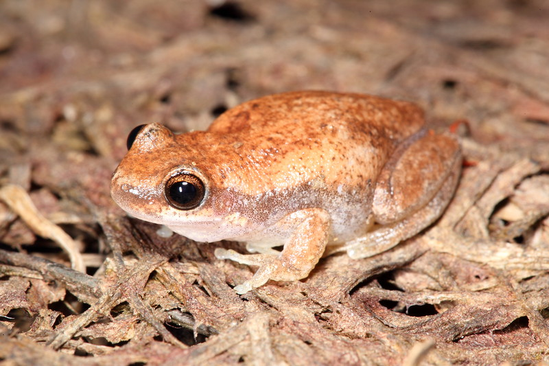 Litoria rubella (Red Tree Frog), Kakadu, Northern Territory
