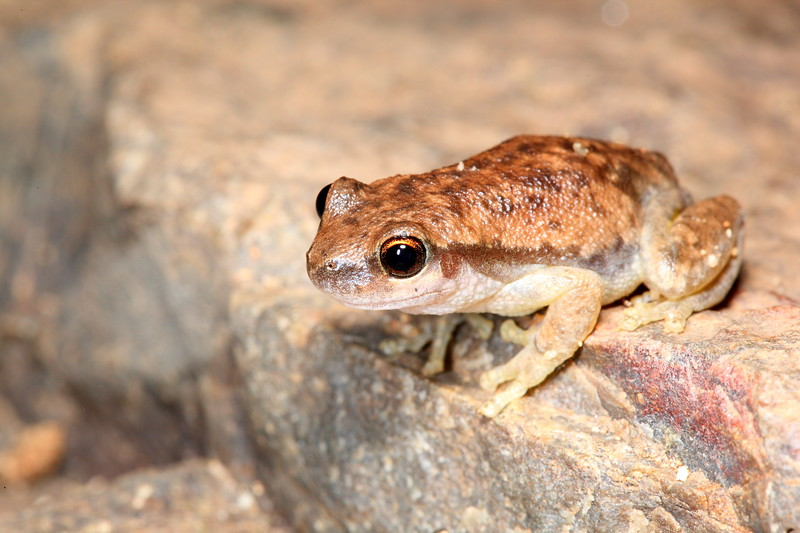 Litoria rubella (Red Tree Frog). Found in the various gorges, West Macdonnell Ntional Park, Northern Territiory.